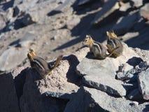 Esquilos que verificam para fora seus arredores Imagens de Stock Royalty Free