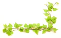 Esquina con el abedul verde Imagen de archivo libre de regalías