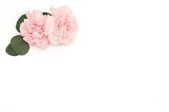 Esquina rosada de la flor y del eucalipto Flor en el fondo blanco Imagen de archivo