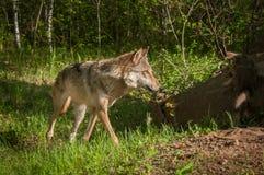 Esquinas del lupus de Grey Wolf Canis Fotografía de archivo libre de regalías