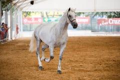 Essai équestre de la morphologie aux chevaux espagnols purs photographie stock libre de droits