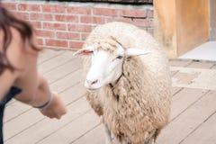 Essai d'alimenter un mouton dans la ferme de Qingjing images libres de droits