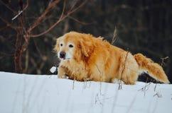 Essai de marcher par la neige profonde quand vous êtes un vieux chien Photos stock