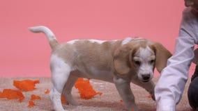Essai sautant de briquet drôle d'attraper le garçon de papier intelligent de pompon ayant l'amusement avec le chien banque de vidéos