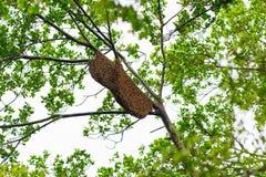 Essaim d'abeille sur une branche d'arbre photo stock