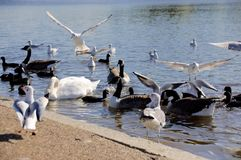 Essaim de cygne, Serpentine Lake, Hyde Park London photos stock