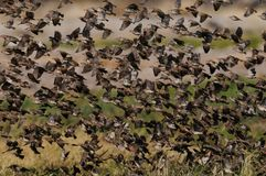 Essaim de quelea de Redbilled dans le ciel photos stock