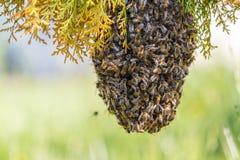 Essaim des abeilles photographie stock libre de droits