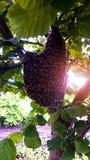 Essaim des abeilles Photo libre de droits