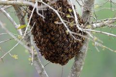 Essaim des abeilles Images libres de droits