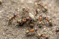 Essaim des combats de fourmis pour le macro de nourriture photographie stock