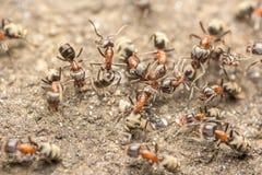 Essaim des combats de fourmis pour le macro de nourriture images libres de droits