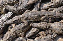 Essaim des crocodiles siamois photo stock