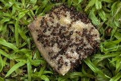 Essaim des fourmis mangeant l'os de chien de Dicarded Photographie stock