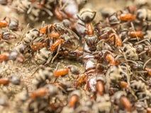 Essaim des fourmis mangeant le centipède géant photo stock