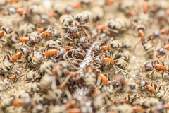 Essaim des fourmis mangeant le centipède géant photographie stock
