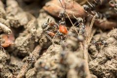 Essaim des fourmis mangeant le macro d'insecte images stock