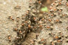 Essaim des fourmis passant la nourriture au-dessus de l'abîme images stock