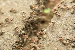 Essaim des fourmis passant la nourriture au-dessus de l'abîme photo libre de droits