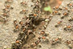 Essaim des fourmis passant la nourriture au-dessus de l'abîme photographie stock