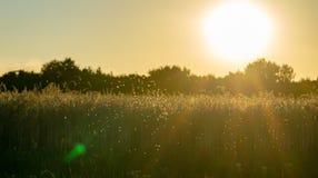 Essaim des moustiques à un champ de maïs - éclairez à contre-jour pendant égaliser des heures image stock
