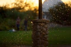 Essaim rétro-éclairé des moustiques ou des moucherons photographie stock