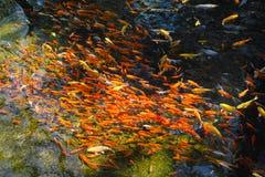 Essaim rouge de poissons Images libres de droits