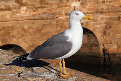 Essaouira -海鸥和Skala桥梁 库存图片