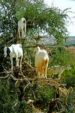 The goat tree in Morocco. Essaouira Morocco Hard to believe but these ungulates really climb up the Argan trees of Morocco and they do it for food, showing Royalty Free Stock Photo