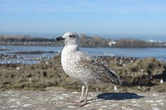 Essaouira Seagull on harbour wall Royalty Free Stock Image
