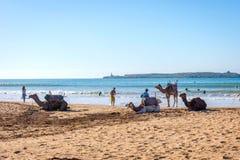Essaouira strand med kamel Royaltyfria Foton