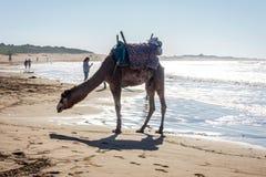 Essaouira strand med kamel Arkivbilder