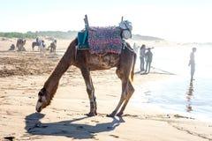 Essaouira strand med kamel Arkivbild