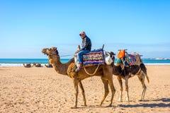 Essaouira strand med kamel Royaltyfri Bild