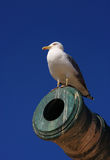 essaouiramorocco seagull Royaltyfri Bild