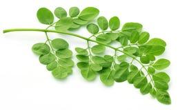 Essbare Moringa-Blätter über weißem Hintergrund Stockbild