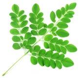 Essbare Moringa-Blätter Stockfoto