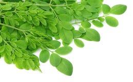 Essbare Moringa-Blätter Lizenzfreies Stockfoto