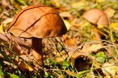 Essbare Pilze Lizenzfreie Stockfotografie
