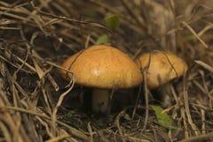 Essbare Pilze stockbild