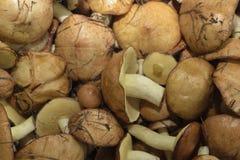 Essbare Pilze Lizenzfreie Stockfotos