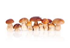 Essbare Pilze des Boletus Lizenzfreie Stockbilder