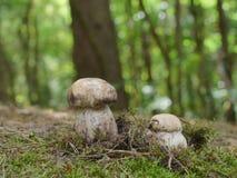 Essbare Pilze des Boletus Stockbilder