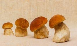 Essbare Pilze des Boletus auf Tischdecke Stockfotos