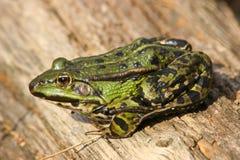 Essbarer Frosch (Pelophylax Stockbild