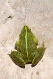 Essbarer Frosch - Pelophylax Kiloliter. essbar Lizenzfreie Stockfotos