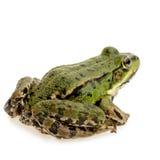 Essbarer Frosch - Rana essbar Stockbild