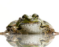 Essbarer Frosch - Rana essbar Lizenzfreie Stockfotos