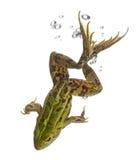 Essbarer Frosch, Rana essbar, im Wasser lizenzfreie stockfotografie