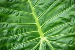 Essbarer Hintergrund des Colocasia, tropische Anlage Stockbild